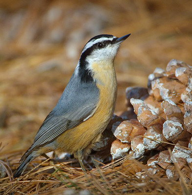 AJH RB nuthatch